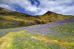 The Rannerdale Bluebells Royalty Free Stock Images