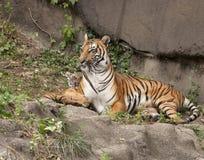 Rannicchiare della tigre e del cucciolo di mamma Fotografie Stock Libere da Diritti
