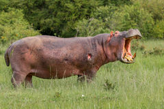Ranny hipopotam, Ryczy Zdjęcia Stock
