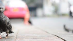 Ranny jeden nogi gołębi odprowadzenie na ścieżce obok ulicy zbiory wideo