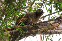 Ranomafana jungle lemur Royalty Free Stock Images