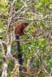 Ranomafana lemur Stock Photos