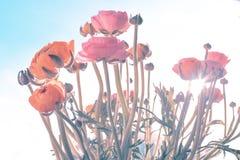 Ranonkels/Ranunculus/blommor/Bloemen/persisk smörblomma royaltyfri bild