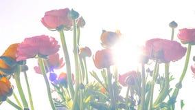 Ranonkels/Ranunculus/blommor/Bloemen/persisk smörblomma arkivfoto