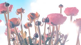 Ranonkels / Ranunculus / Flowers / Bloemen / Persian Buttercup stock photo