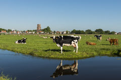 Ransdorp with Cow Royalty Free Stock Images
