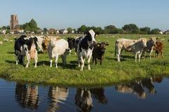 Ransdorp z krowami i przykopem Zdjęcie Stock