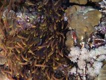 Ransonneti di Parapriacanthus (spazzatrice dorata) in Immagini Stock Libere da Diritti
