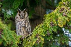 Ransuil, Long-eared Owl, Asio Otus stock photos