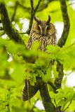 Ransuil, Long-eared owl, Asio otus royalty free stock image