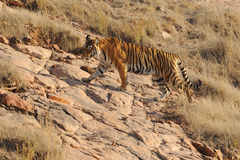 Ranthambore印度 狂放的老虎狩猎 图库摄影