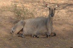 Ranthambore印度 通配鹿的水鹿 库存照片