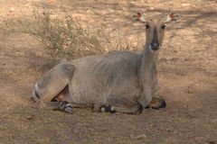 Ranthambore India dziki jeleni sambar Zdjęcie Stock