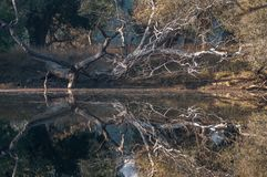 Ranthambore National Park, India. Reflection in a small lake in Ranthambore National Park in Rajasthan, India royalty free stock image