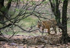 Ranthambore-Tiger, der in den Dschungel sich bewegt Stockbilder
