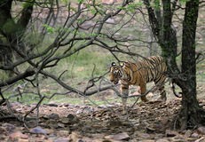 Ranthamboretijger die zich in de wildernis bewegen Stock Afbeeldingen