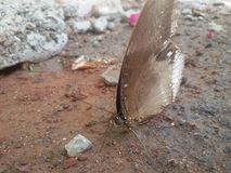 Ranti-Schmetterling Lizenzfreies Stockbild