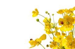Ranuncoli gialli con il ladybug su bianco Fotografia Stock