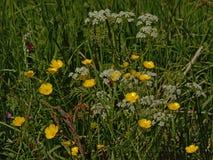 Ranuncoli gialli luminosi, prezzemolo di mucca ed alta erba in un prato - ranunculus Fotografia Stock