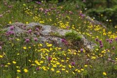Ranuncoli, trifoglio e roccia in Terranova Fotografia Stock