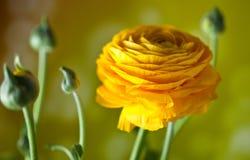 Ranuncolo persiano giallo Fotografia Stock Libera da Diritti