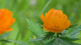 Ranunculaceae, buds on the background of green foliage in summer in the daytime. Tróllius.Ranunculaceae. Bathing suit orange flower on green stock video footage