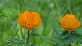 Ranunculaceae, buds on the background of green foliage in summer in the daytime. Tróllius.Ranunculaceae. Bathing suit orange flower on green background in stock video