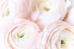 Ranunculos花卉背景 库存照片
