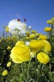 Ranunculuds amarillo y blanco Foto de archivo libre de regalías