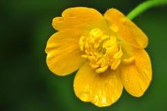Ranunculus Stock Photography