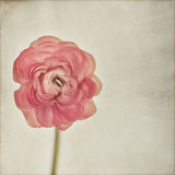 Ranunculus Stock Photos