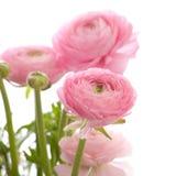 Ranunculus Stock Image