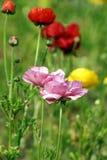 Ranunculus Stockfotografie