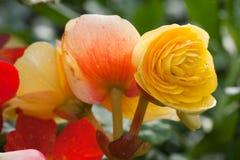 ranunculus Royaltyfria Bilder