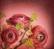 Ranunculus Royalty Free Stock Photo