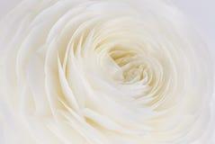 Ranunculus Image stock