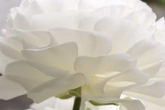 Ranunculus arkivbilder