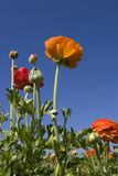 Ranunculus Fotografia Stock Libera da Diritti