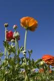Ranunculus Zdjęcie Royalty Free