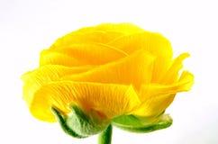 Ranunculus Photos libres de droits