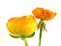 Ranunculus Images libres de droits