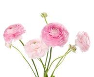 Ranunculus photo libre de droits