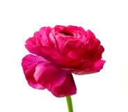 Ranunculus royalty-vrije stock fotografie