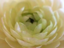 Ranunculus Stock Afbeeldingen