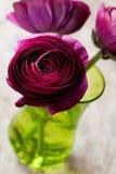 Ranunculus Lizenzfreie Stockfotos