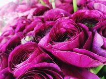 Ranunculus Royaltyfria Foton