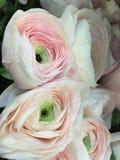 Ranunculus Arkivbild