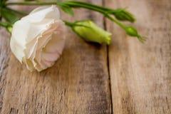 цветет белизна ranunculus Стоковое Изображение RF