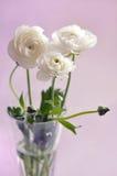 Ranunculus Stock Foto