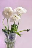 Ranunculus Photo stock